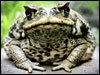 _41338798_cane_toad_getty_100_1